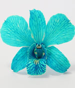 Preserved blue orchid for wedding and home decor