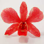 Preserved red orchid for wedding souvenirs