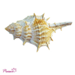 Seashell for home decorating